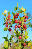Gooseberries on branch Stock Image