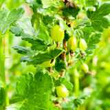 Gooseberries on a branch Stock Photos