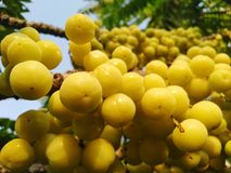 Gooseberries on branch royalty free stock images