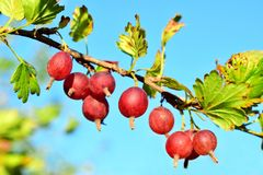 Red gooseberry on a branch. The common gooseberry lat. Ríbes úva-críspa is a plant species of the Gooseberry family Grossulariaceae royalty free stock photo