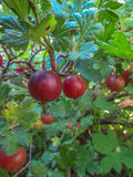 Gooseberries on a branch Stock Photo