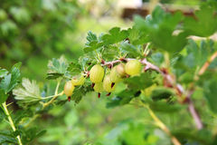Gooseberries on a branch Stock Photography