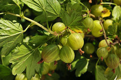 Gooseberries on the branch Stock Photo