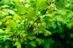 Gooseberries on the branch Stock Image