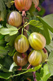 Gooseberries on the branch Royalty Free Stock Photography