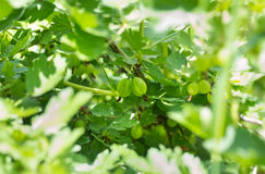 Gooseberries on a branch Stock Images