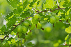 Gooseberries on a branch Royalty Free Stock Photography