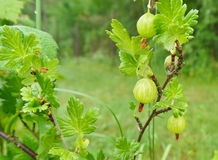 Gooseberries on branch Royalty Free Stock Photos