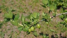 Gooseberries branch stock video