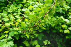 Gooseberries on the brunch Stock Photography