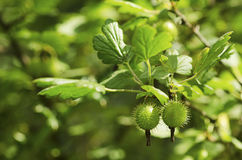 Gooseberries on a Bush Royalty Free Stock Images