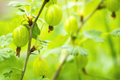 Gooseberries on bush macro Stock Image