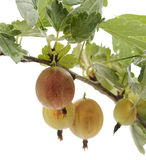 Gooseberries  On A Bush Stock Images