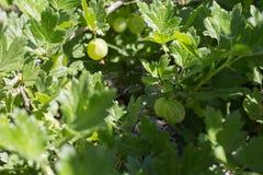 Gooseberries em uma filial fotos de stock royalty free