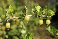 Gooseberries em uma filial imagens de stock