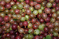 Gooseberries in the garden. Gooseberry berries contain many vitamins Royalty Free Stock Images