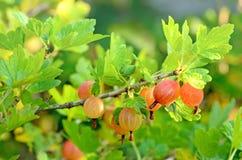 Gooseberries in the garden Stock Photo