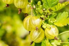 Gooseberries growing in the garden Stock Photos