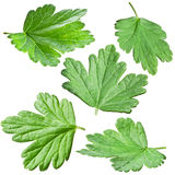 Gooseberries leaves. Royalty Free Stock Photos