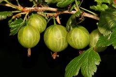 Gooseberries maduros fotografia de stock