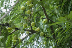 Gooseberries. Many gooseberries on the branch Royalty Free Stock Image