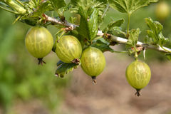 Gooseberries. Royalty Free Stock Photography