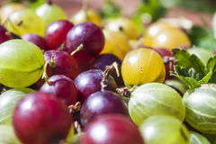 Gooseberries Ribes uva-crispa Stock Photography