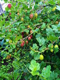 Gooseberries ripen. Stock Photos
