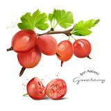 Gooseberries and splashes of watercolor painting. White background Royalty Free Stock Images