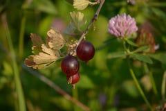 Gooseberries. Three gooseberries on the branch Stock Photography