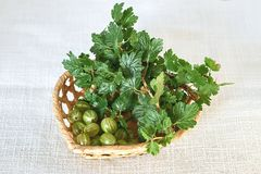 Gooseberries and twig with green leaves in wicker basket Stock Image