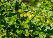 Gooseberries verdes frescos Bagas orgânicas crescentes Close up de um ramo da groselha Bush fotografia de stock