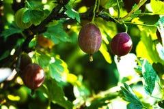 Gooseberries verdes frescos Close up orgânico crescente das bagas sobre imagens de stock