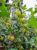 Gooseberries verdes frescos Groselha madura no jardim do fruto foto de stock