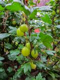 Gooseberries verdes frescos Groselha madura no jardim do fruto foto de stock royalty free