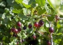 Gooseberries vermelhos fotografia de stock