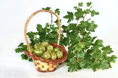 Gooseberries in wicker basket and twig with green leaves Royalty Free Stock Photography