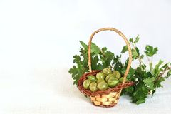 Gooseberries in wicker basket and twig with leaves Stock Image