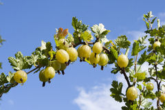 Gooseberry 1. Branch with ripe berries, gooseberries Stock Image