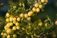 Gooseberry. (Ribes uva-crispa) with berries royalty free stock images