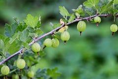 gooseberry fotografia stock libera da diritti