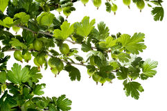 Gooseberry. Branches on a white background royalty free stock images