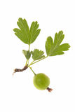 Gooseberry. Ripe gooseberry with leaf on stock photography