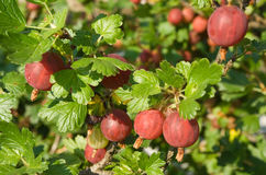 Gooseberry. Red gooseberry berries on branch Royalty Free Stock Photos