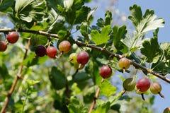 Gooseberry. Spray of gooseberry mellow on background of sky Stock Photos