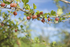 Gooseberry. Berries on branch. Background Royalty Free Stock Photos