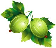Gooseberry. Raster version of vector image of gooseberry Royalty Free Stock Photography