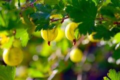 gooseberry fotografie stock libere da diritti
