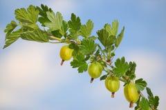 gooseberry photographie stock
