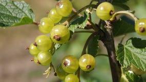 gooseberry Fotografia de Stock